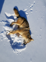 Coyote Control, Coyote Removal