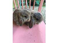 Agouti Dwarf lop ear rabbit - 9 week old buck for sale