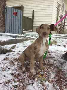Beautiful Great Danes Ready For Their Forever Homes!