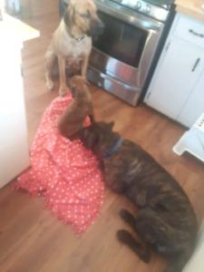 Brindle mastiff pups