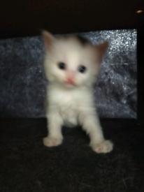 Kittens , ginger , tabby,white,black and white , boys and girl