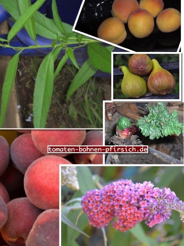 🍑je 2 Pflanzen Weinberg Pfirsichbäume Wallnuss Granatapfel Bäume Johannisbeeren