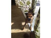 Pug cross jack Russell pup
