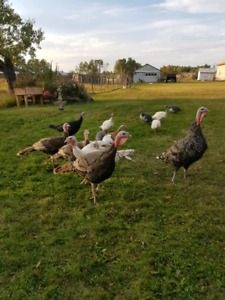 Turkeys and ducks for sale