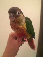 new update on my baby yellow-sided conures