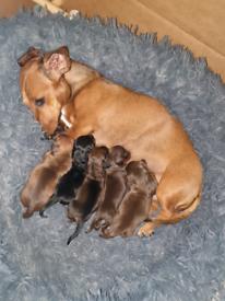 5 Miniature short haired Dachshund pups