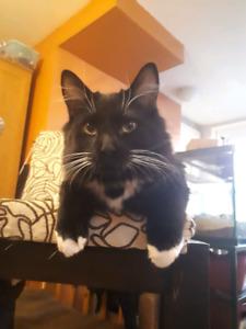 Filou (vacciné, vermifugé, stérilisé) chaton de 6 mois