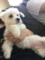 Maltese looking for a lovely family