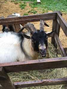 Minture Pygmy Goats - Bucks