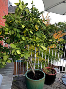 Two 22 years old, fruit giving lemon trees for sale