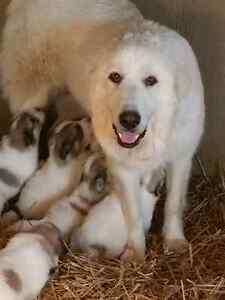 Purebred Great Pyrenees Pups for Sale