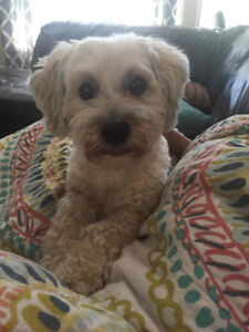 Lost small Maltese Poodle (light beige)