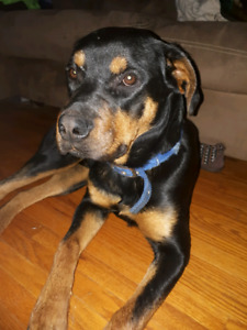9 month old male Rotti