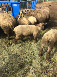 Southdown and Suffolk cross ewe lambs