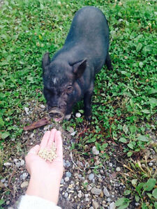 PET MINI PIGS - Only 3 Left London Ontario image 2