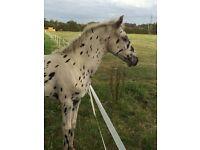 Appaloosa Horse for sale