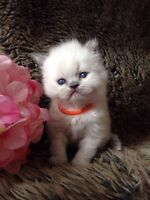HIMALAYAN BLUE POINT kitten AVAILABLE