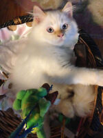 Himalayan Kitten looking for his next home