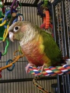 Reduced***pineapple conure(bird, cage,all toys and accessories)