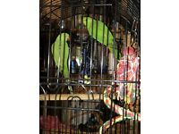 Pair of Indian ring neck parrots cage and accessories