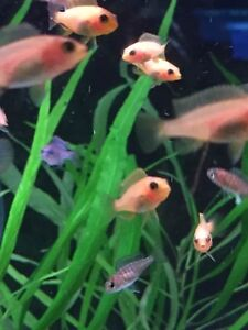 cichlid babies for sale