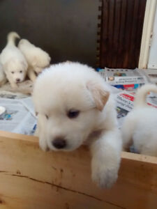 Puppies for Sale 2 females left