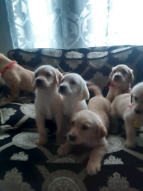 6 beautiful labrador puppys