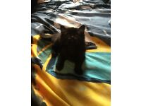 Two long hairs female kittens ready now