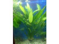 Extra large sword plant 2 feet tall for fish tank
