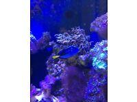 Regal tang marine fish