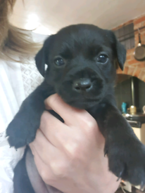 Border terrier cross patterdale Puppies