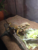 1 year old baby bearded dragon everything included