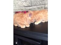 Kittens - two ginger brothers