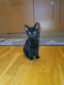 Black 3 months old kitten