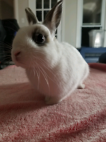 6 month pet rabbit in need of forever home