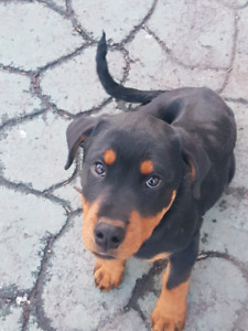 Rottweiler puppy for sale/chiot rottweiler a vendre