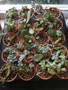 Approx 200 succulents for sale