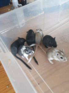 4 left, **2 sold**Two month old gerbils. Selling pairs only.