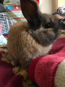 Baby Holland Lop bunny