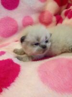 5 PURE BREED HIMALAYANS KITTENS