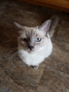 Female Ragdoll Blue Point Available