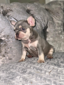 Lilac tan frenchbulldog pupps carrying testable chocolate and cream