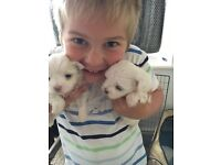 2x Maltese kc reg puppies