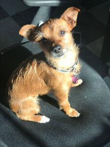 DAISY - YORKIE JACKRUSSEL VERY FRIENDLY Kitchener / Waterloo Kitchener Area image 2