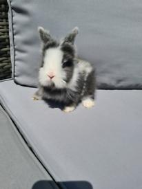 Pure double mane lionhead baby rabbits 💖