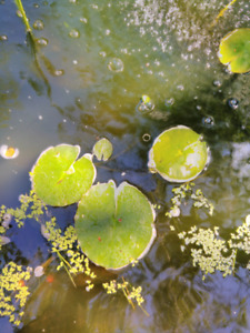 Duck Weed Pond Plant