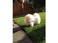 Maltese KC registered puppies