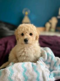 Dog-poochon