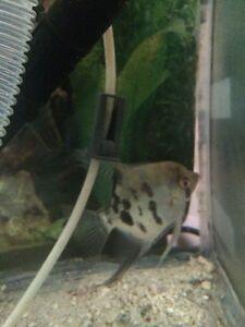 Freshwater Adult Male Angelfish