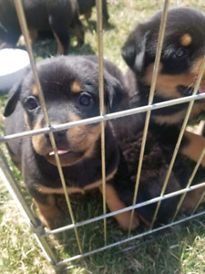 Pure Bred Cute Rotweiler Puppies!